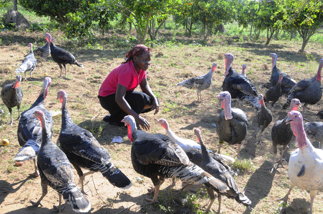 Agnes Akurut tends to her turkeys in Uganda. Agnes was able to buy turkeys after receiving a loan from a Village Savings and Loan Association group set up by the Los Angeles based non-profit Drop in the Bucket.