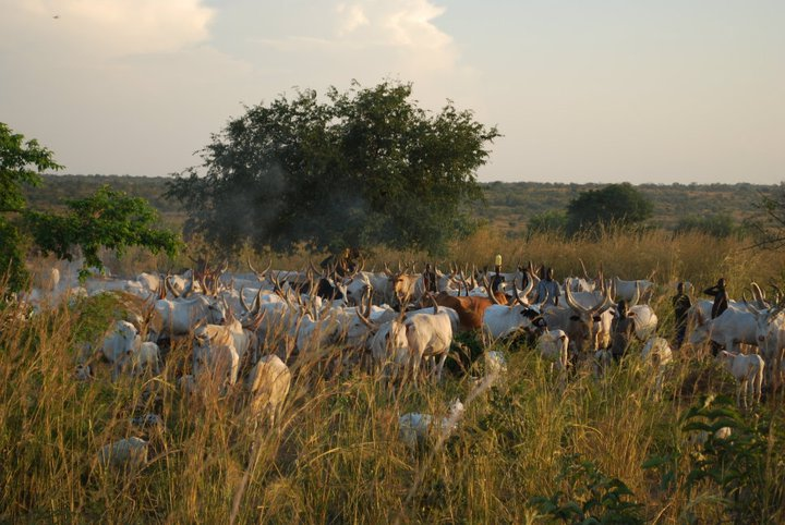 Cattle In South Sudan Often Used For Dowries In Child Marriage